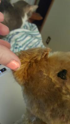 teddy bear ear
