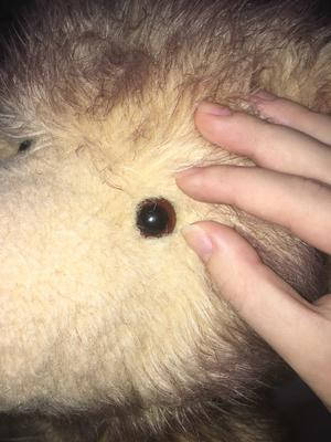 black teddy bear eye